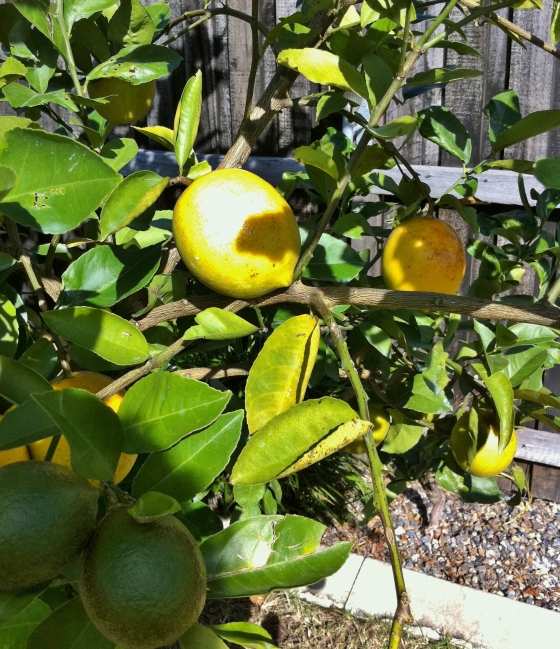 gabby's lemon tree