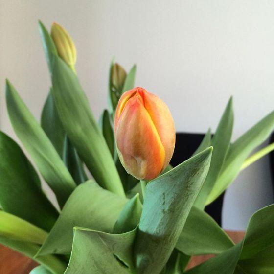 wk 31 tulips